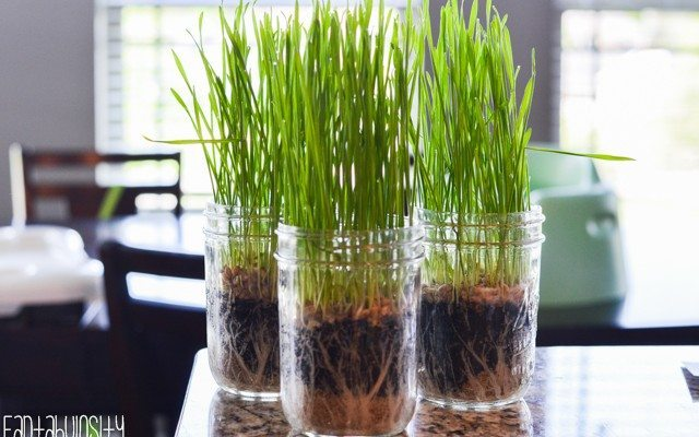 Growing Wheatgrass for our Green Juice Recipes
