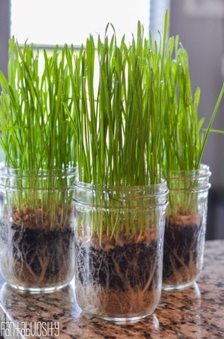 Growing Wheatgrass for Green Juice Recipes