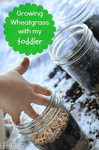 Growing Wheatgrass with my toddler